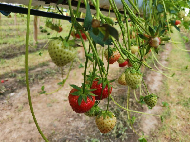 strawberry picking near york