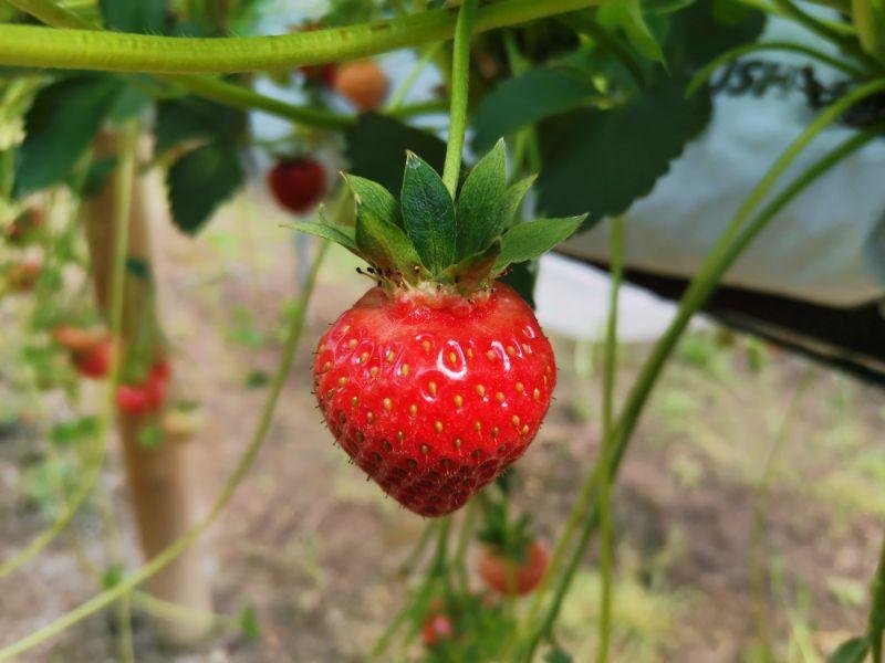 strawberry picking york