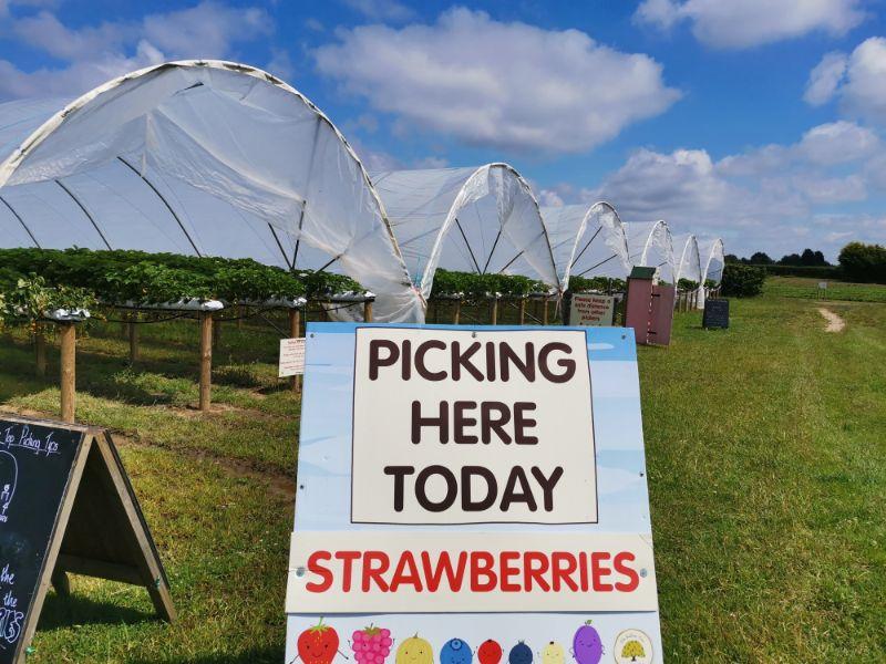 pyo strawberry picking york